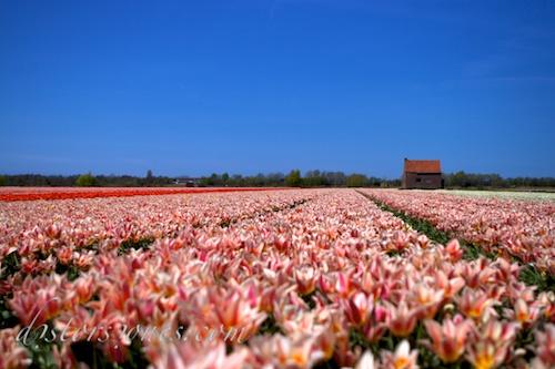 La casa de los tulipanes