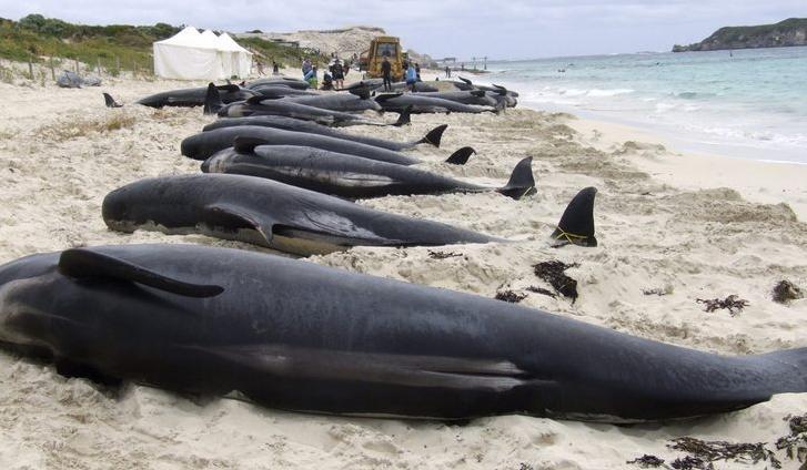Dead pilot whales -  Hamlin Bay - West Australia
