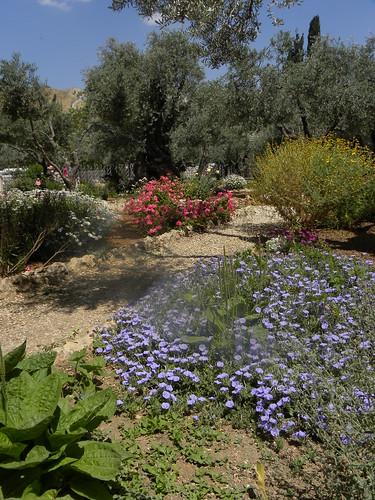 Olives in Gethsemane-2, by Ian W Scott