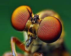 Eyes of a Holcocephala fusca Robber Fly