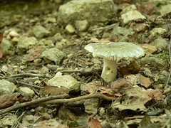 Sinking Creek Mountain - Tacky Green Russula From Side