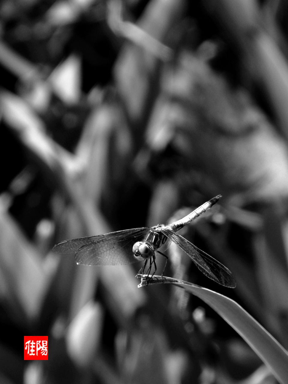 P80-ORF_Dragonfly02-2009_08-29