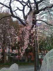 Blossums, Ueno Park
