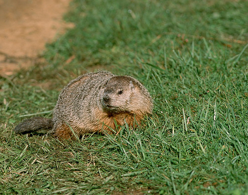 Groundhog by Dave Cooney