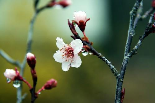 Plum Blossom Wet