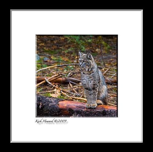 Forest Feline