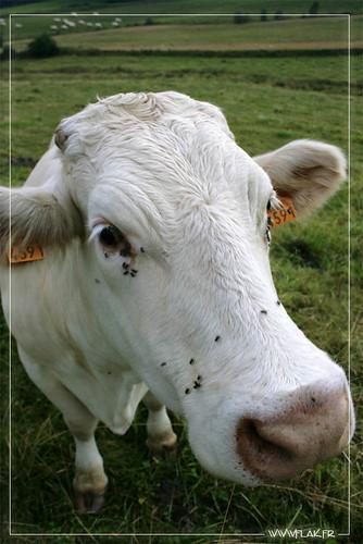 La vache!
