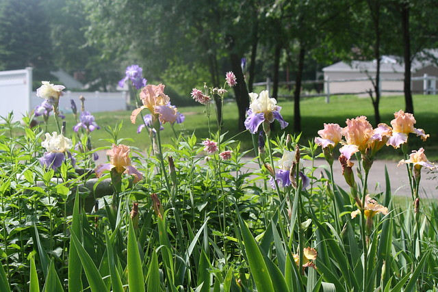 bountiful irises