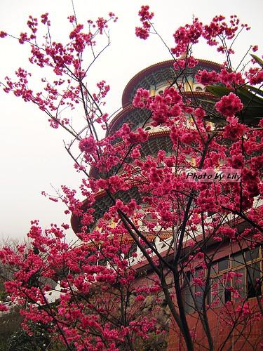 天元宮與盛開的八重櫻