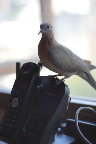 Dove Perching on Phone