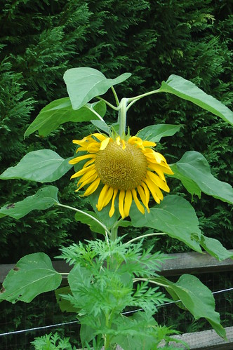 Sunflower Sam Looking at You