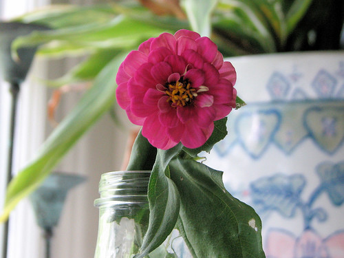 The Little Zinnia That Could