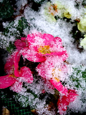 flowers in snow - hope, even in the depths of winter