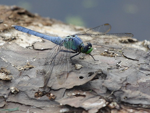 Eastern Pondhawk Male