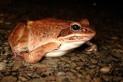 Wood Frog by Tom LeBlanc