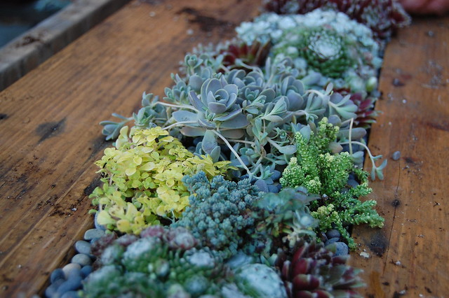 Succulents playing together.