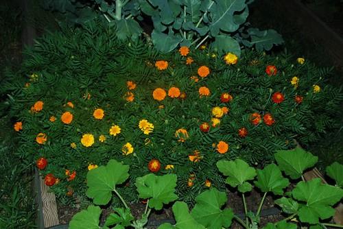 Marvelous Marigolds 2