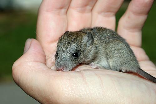 Baby-Rat3