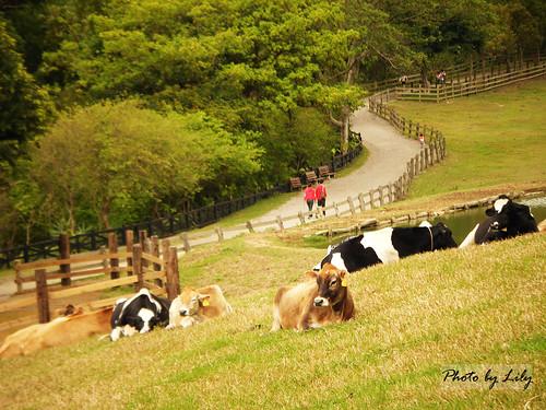 山坡上悠閒慵懶的牛兒們