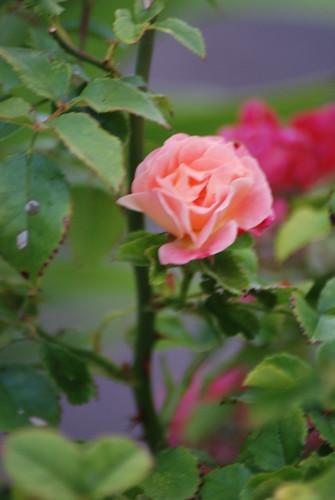 pinksun 015