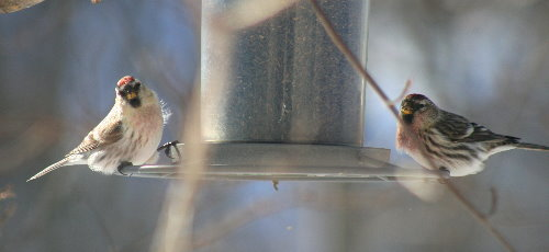 Hoary and Common Redpoll at feeder