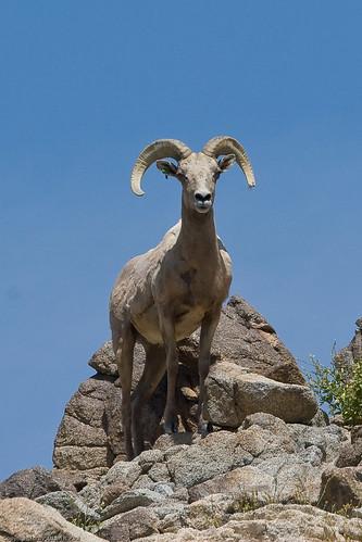Desert Bighorn Sheep by you.