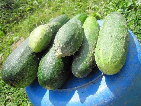 Two Zucchini's and some cukes