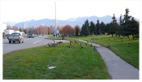Traffic and geese, midtown Anchorage.