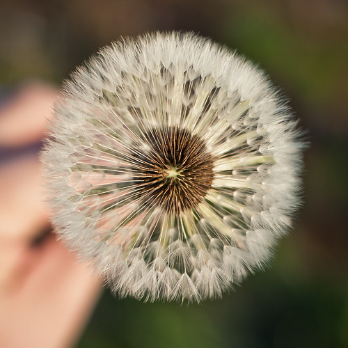 Heart of the dandelion