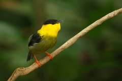 Golden-collared manakin 1