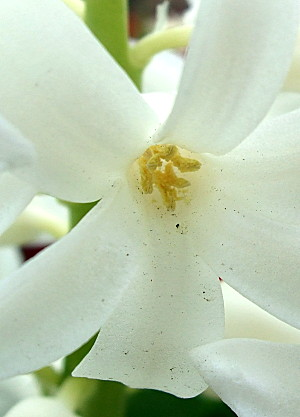 a tiny hyacinth flower, part of a larger collection of stars on a single spike...