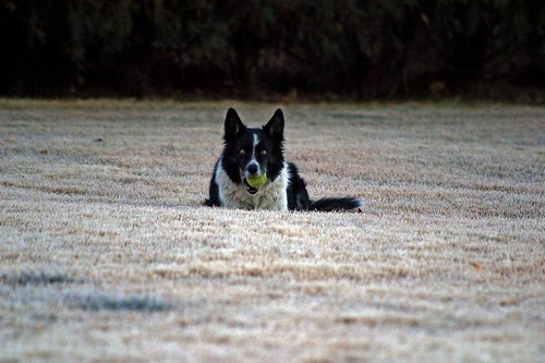 Bonnie with the ball on the frosted lawn