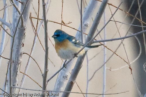 Lazuli Bunting by you.