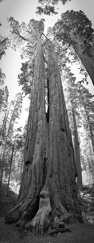 Twin Giant Sequoia by you.