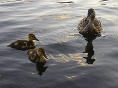 Ducklings and Mom