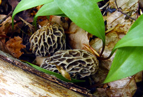 The First Morels this Year  05/02/2010