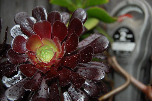 Aeonium with parking meter