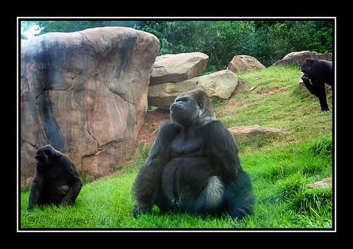 Gorillas 3