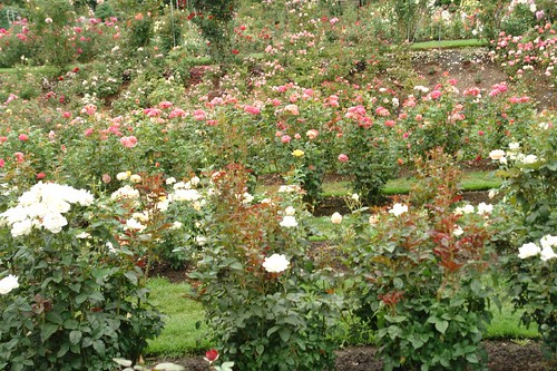 Roses as far as the eye could see