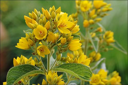 Lysimachia vulgaris_750-500_4 (Foto op Flickr van amadej2008)
