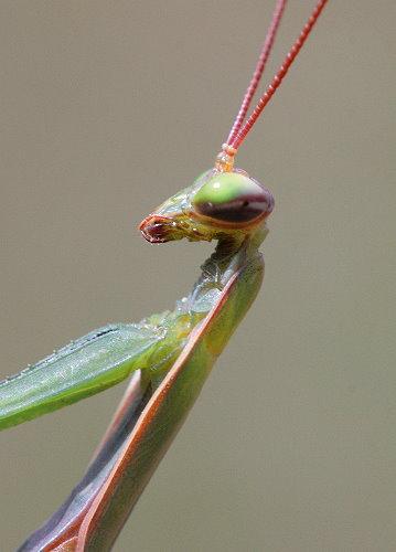 mantis6
