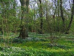 Rya skog - wood anemone season