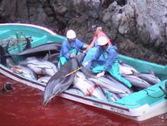 Taiji dolphin hunting