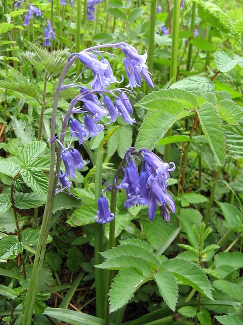 Common Bluebells (Hyacinthoides non-scripta)