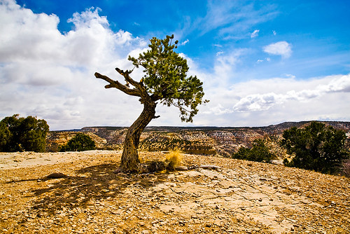 Just a scrubby tree I found near the edge of the canyons northern rim.