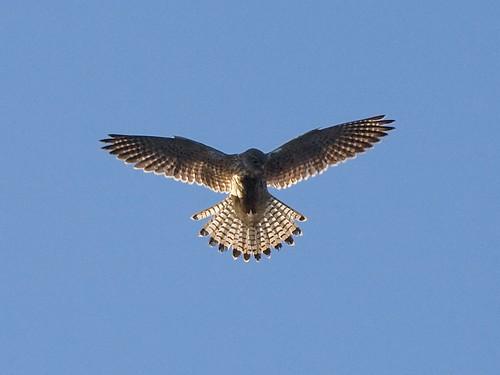 Hawk hovering