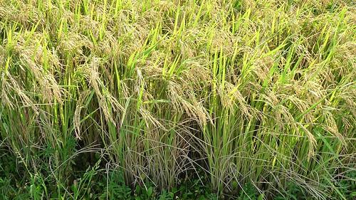 Long-grain Texas rice