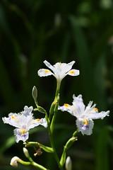 生田緑地のシャガ(Iris japonica at Ikuta Ryokuhi, Japan)