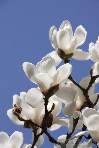 Taebaek Magnolias