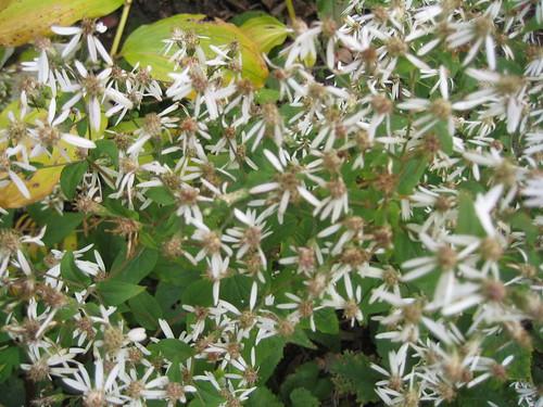 White woodland aster